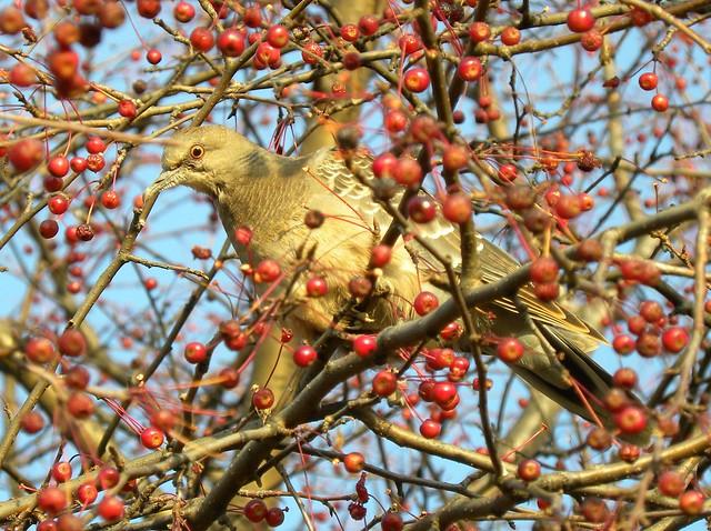 Oriental Turtle Dove, Streptopelia orientalis, Большая горлица