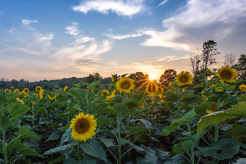 sunflower sunburst sunset flower sun rays color evening dusk warm plant stalk stem leaf petal farm country countryside pittsford upstate ny new york nature serne beautiful