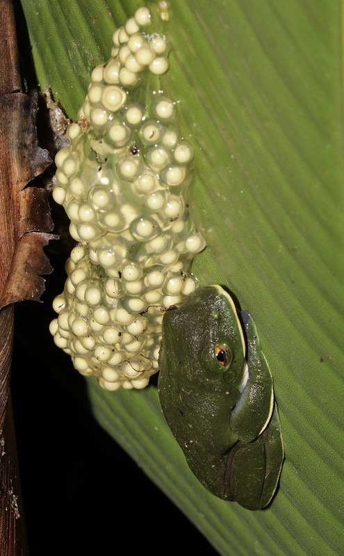 Golden-eyed Tree-frog, Agalychnis annae_199A3305