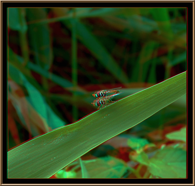 Hoverfly Hanky Panky 2 - Anaglyph 3D