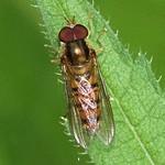 Hainschwebfliege (Marmalade Hoverfly, Episyrphus balteatus)