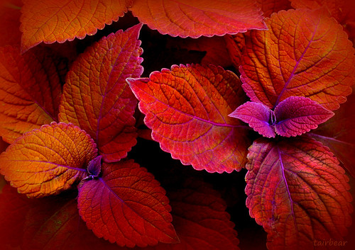 the coleus called Campfire | by milomingo