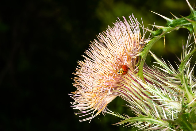 Ladybug and ant on a thistle