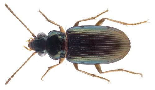 Pogonus gilvipes Dejean, 1828 | by urjsa