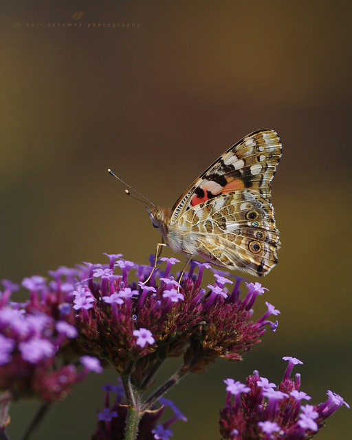 painted lady / vanessa cardui