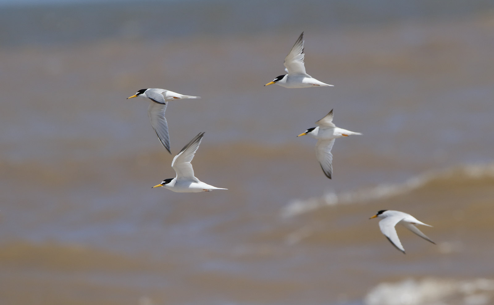 Little Tern/s