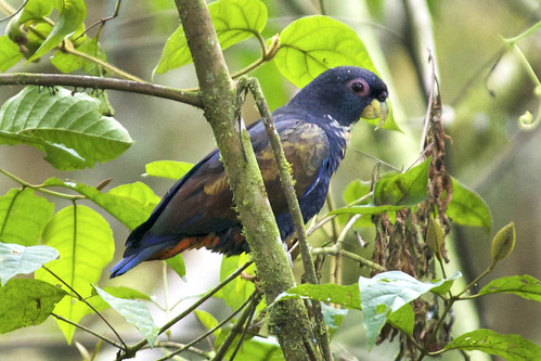 Bronze-winged Parrot in Ecuador | by Dave W.