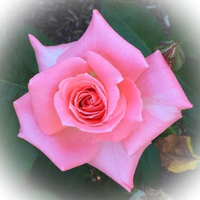 Rose (edited)