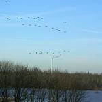 Winterhimmel mit fliegenden Gänsen über der Rheinaue Walsum