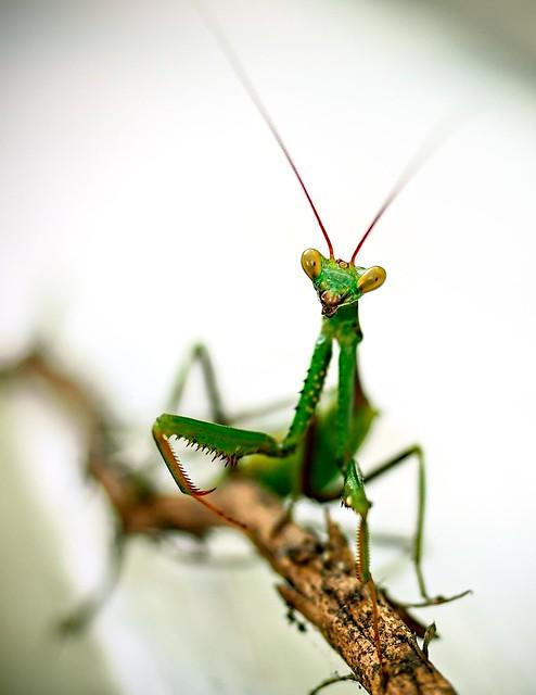 Mantis Religiosa (Louva-a-deus) #2