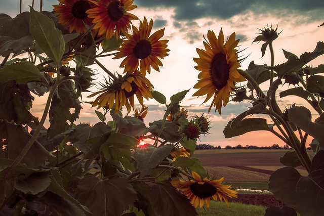 Sunburst and sunflowers