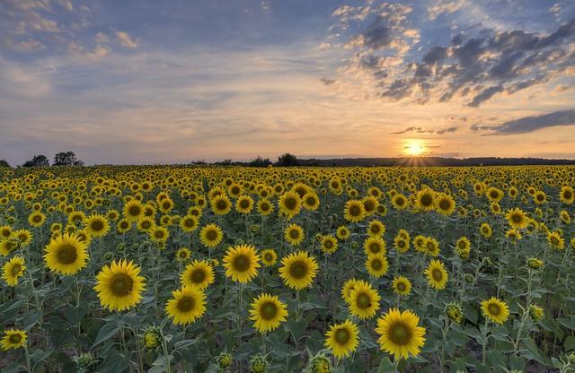 *sunflower field at sunset*