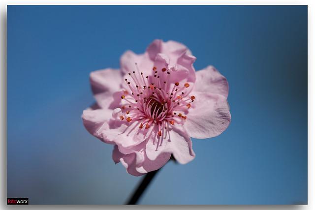 Flowering Peach Blossom