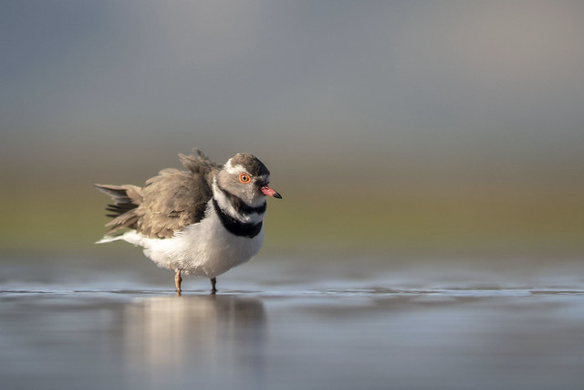 Three-banded Plover - Zimanga -South-Africa