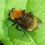 Gemeine Pelzschwebfliege (Bumble bee-like Hoverfly, Criorhina berberina)