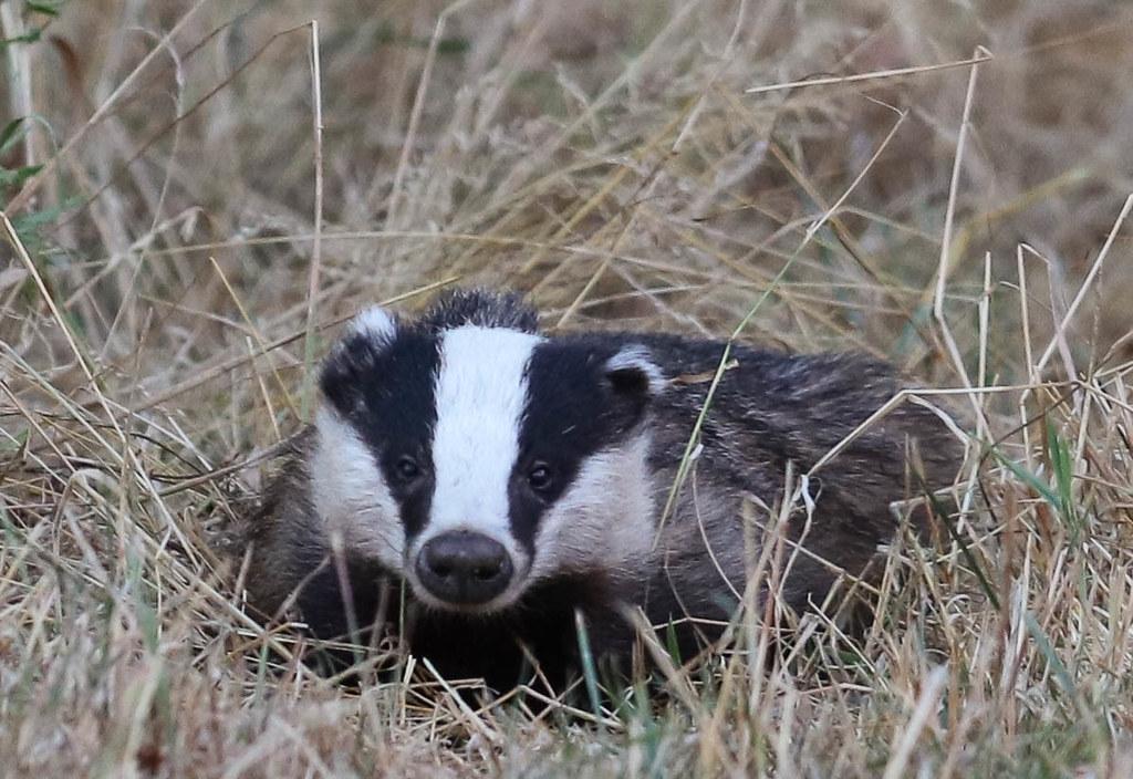 European Badger Meles meles 002-1