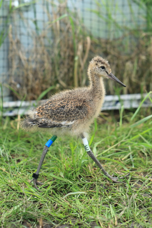 WE-GT-2018 Project Godwit chick GB-WL(E)3