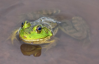 American Bullfrog 2018   by Kaibab National Forest