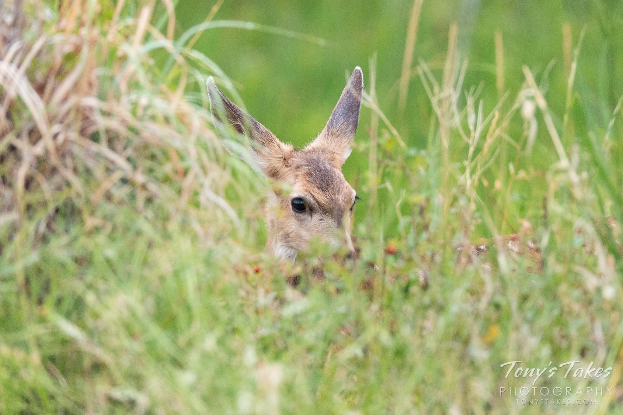 Mule Deer fawn plays hide and seek in the grass
