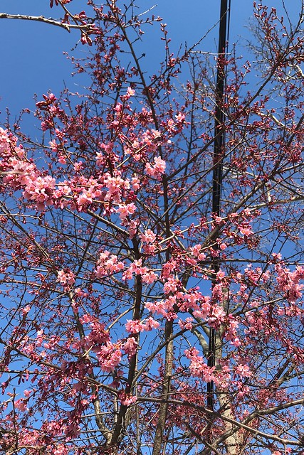 土, 2018-03-24 08:53 - Prunus Okame オカメザクラ