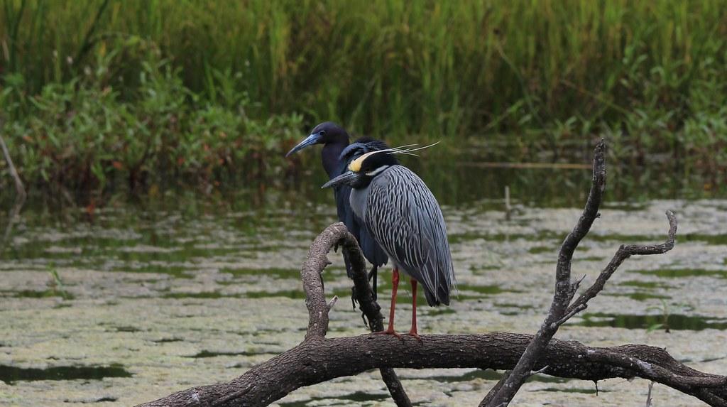 Herons at Rest Estero Llano Grande State Park 4-18