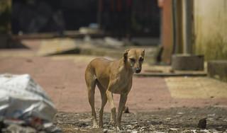 遊蕩在孟買街道的犬隻。圖片來源:peter pelisek(CC BY-NC-ND 2.0) | by TEIA - 台灣環境資訊協會