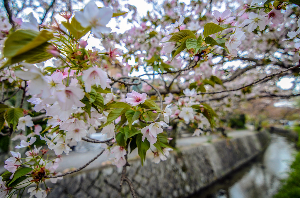 Philosopher's Path cherry blossoms blur