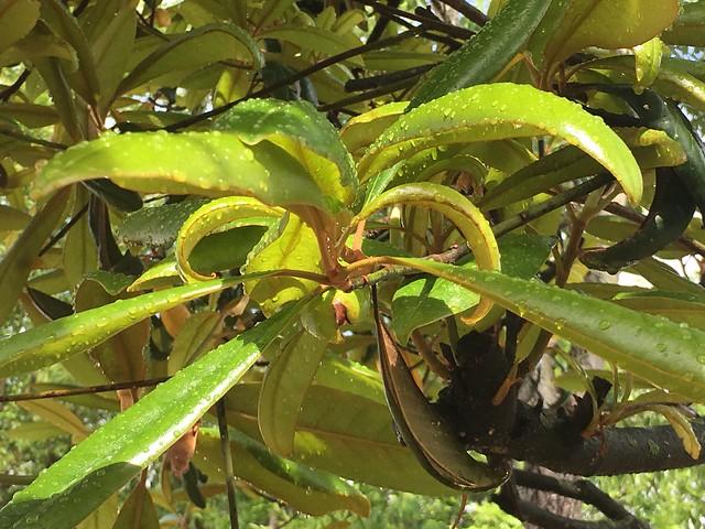 Major Magnolia Leaves In Rain.