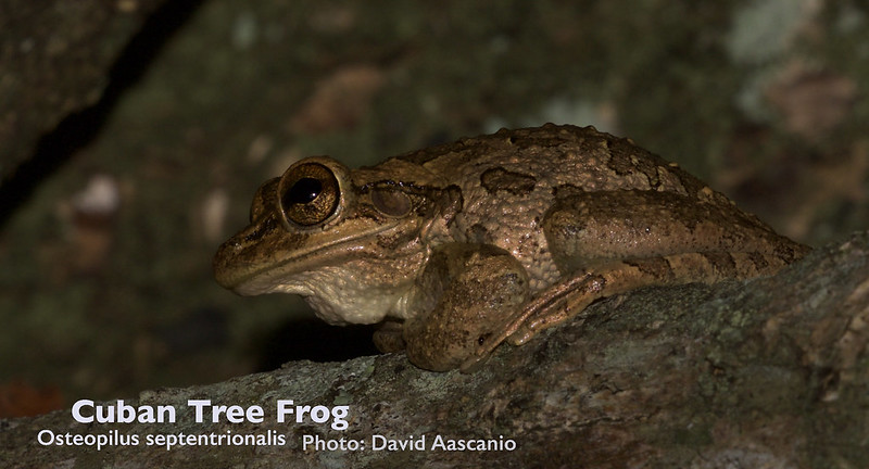 Cuban Tree Frog, Osteopilus septentrionalis_Cuba re_199A4103