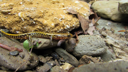 Long-tailed salamander | by psaurcacneosisa