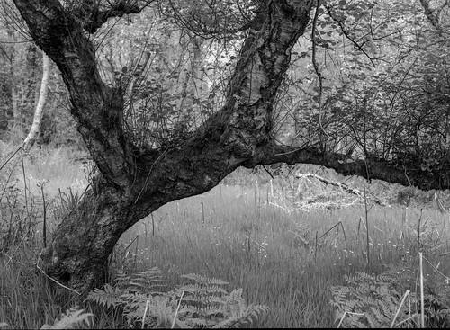 ancient woodland trees black white bw mediumformat rural northeast landscape acros ddx mamiya hawthorn