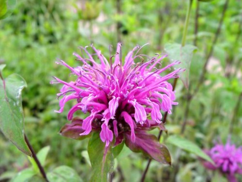 Bee Balm Edible Flowers to Flavour your Food & Improve your Health (gardeningflavours.com) | by pardeeppatel