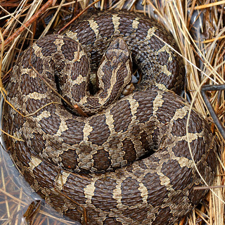 Eastern massasauga rattlesnake (Sistrurus catenatus) | by phl_with_a_camera1