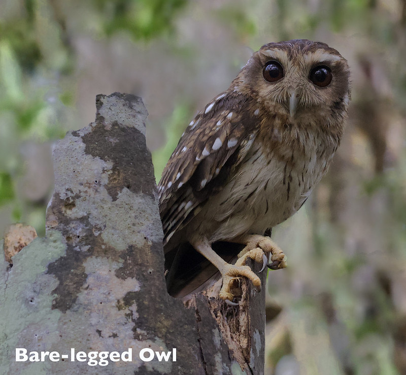 Bare-legged Owl, Margarobyas lawrencii_199A5042