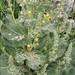 Verbascum pulverulentum - Photo (c) Amadej Trnkoczy, algunos derechos reservados (CC BY-NC-SA)