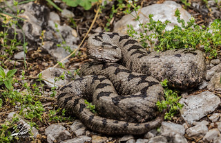 Nose-horned Viper | by Frank Portillo