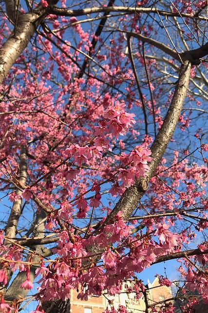 土, 2018-03-31 08:10 - Prunus Okame オカメザクラ