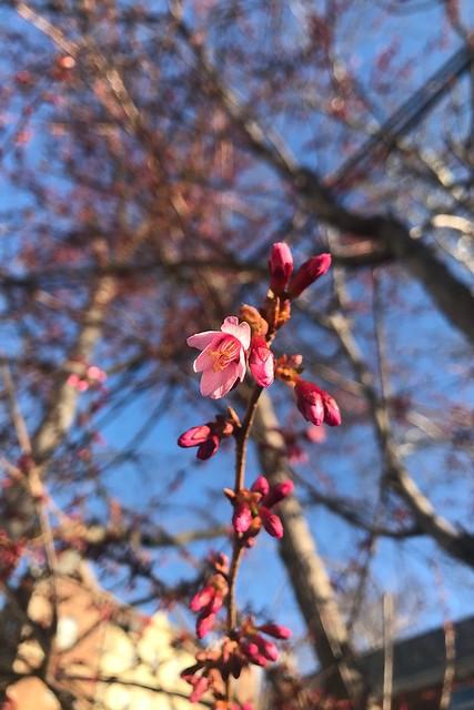 土, 2018-03-17 08:30 - Prunus Okame オカメザクラ