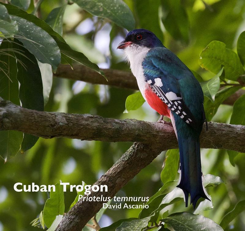 Cuban Trogon, Priotelus temnurus_199A3565