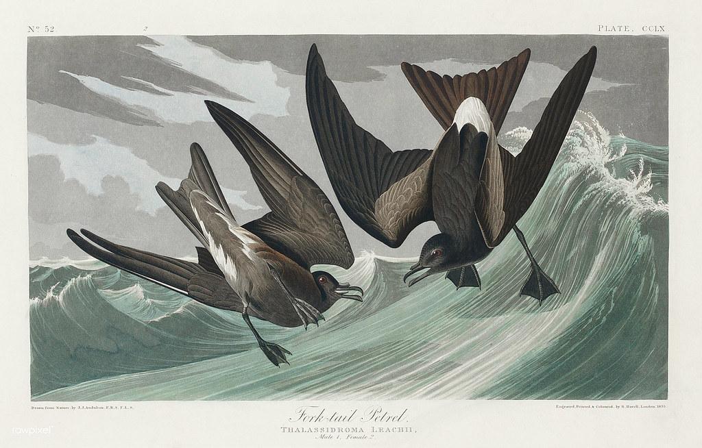 Fork-tailed Petrel from Birds of America (1827) by John Ja… | Flickr