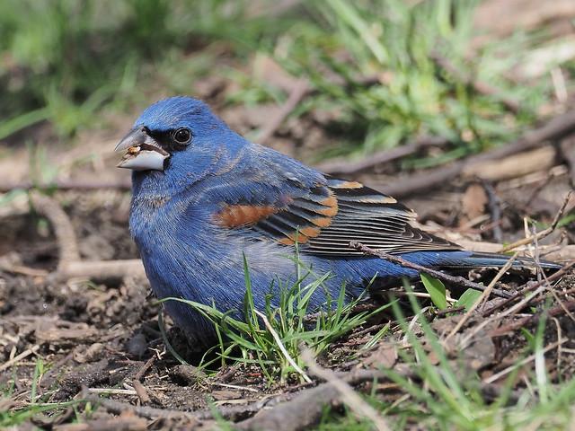 Blue Grosbeak - Fort Green Park