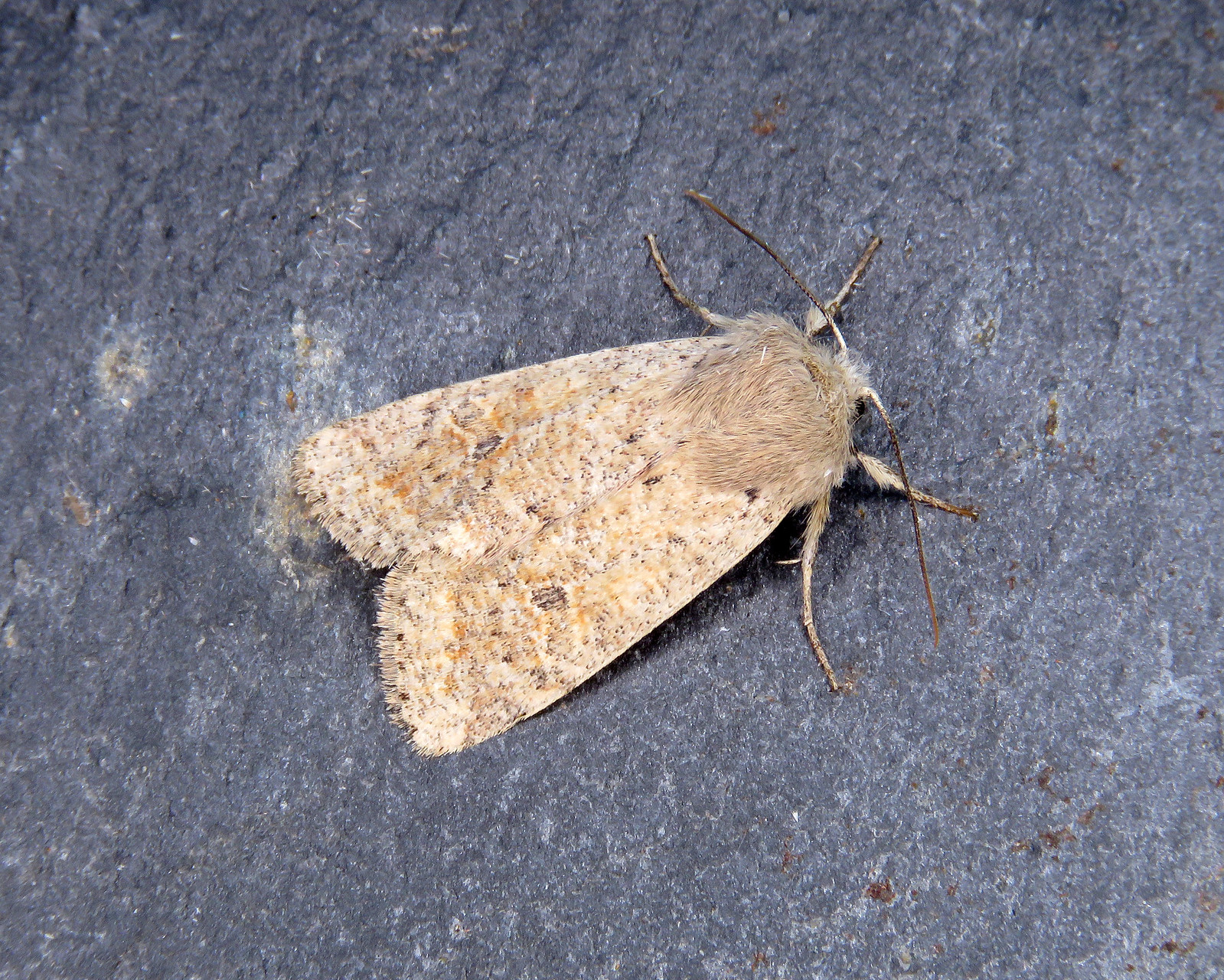 73.245 Small Quaker - Orthosia cruda