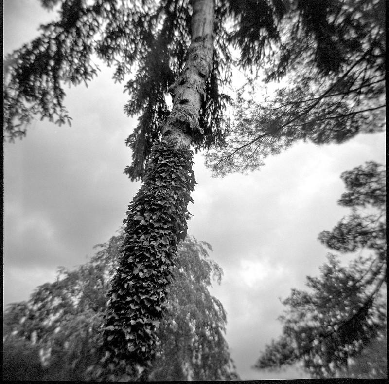 looking up, treetops, ivy-covered tree trunk, Asheville, North Carolina, Diana F+, Kodak TMAX 400, Ilford Ilfosol 3 developer, early May 2018