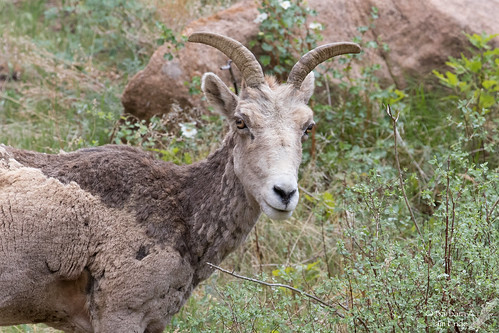 2018 arkansasriver bighorn colorado may oviscanadensis sheep