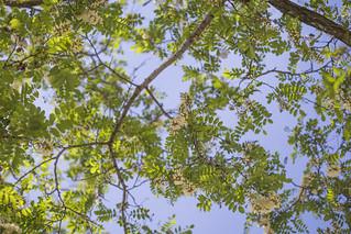 Fiori di acacia | by ileana_pavone