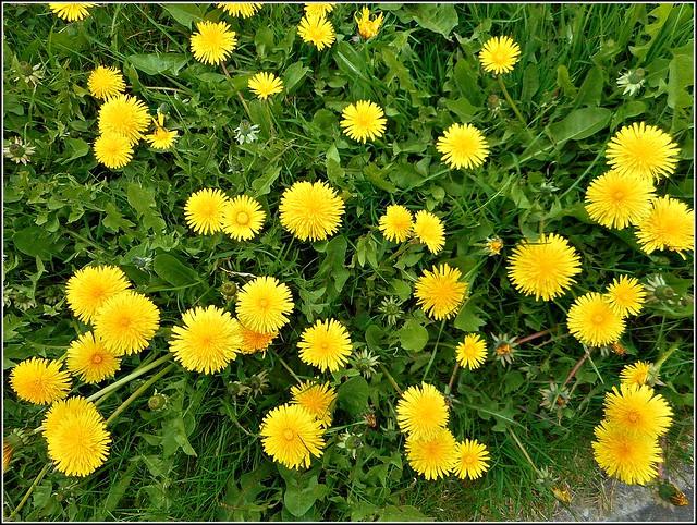 Common Dandelions ..