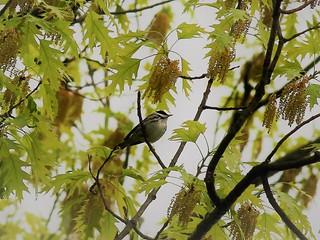 Blackpoll warbler - home, Morris Plains NJ