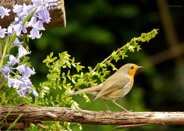 Robin and blue bells (1)