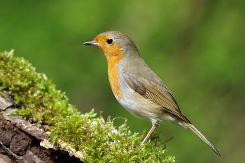 lackfordlakes wild wildlife nature bird robin erithacusrubecula