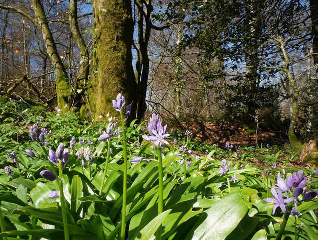 Spanish bluebells (Hyacinthoides hispanica aka Scilla hispanica) in beech forest, Valmigere